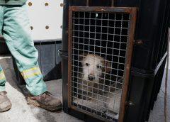 Prefeitura de Carapicuíba resgata mais de 20 cães que sofreram maus tratos